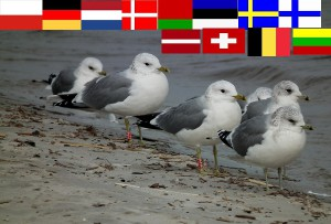 Internationales Möwentreffen am Strand von Ueckermünde (Foto: F. Joisten)