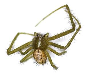 Heriaeus-graminicola - Grüne Haar-Krabbenspinne (Foto: Dr. D. Martin)