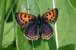 Blauschillernder Feuerfalter - Lycaena helle (Foto: James Lindsey at Ecology of Commanster)