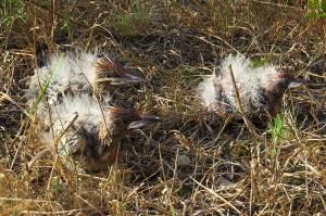 Wiedehopfe alt 300x199 Hupp hupp   der Wiedehopf in der Ueckermünder Heide
