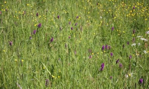 05 13.Tour MalSeenmalSand Orchideenwiese 500x332 Barnim mal seen mal sand beitrag 31. Mai: Mal Seen, mal Sand: das Biesenthaler Becken