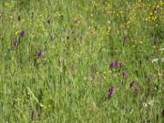 'Orchideenwiese' Copyright Naturpark Barnim