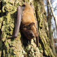 Fledermauswanderung - Copyright: Olliver Buexler, Naturwacht