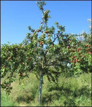 """""""Äpfel für das Volk"""" (Foto: Pamela Weber Umwelt- und Naturschutzamt Pankow)"""