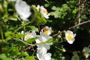 Fleißig fleißig - Eine Arbeitsbiene im Sammelwahn. (Foto: Naturwacht Brandenburg)