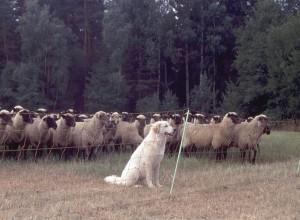 Mit Herdenhund und Gitterzaun gut gegen Wölfe geschützte Schafherde. Foto: Carina Vogel