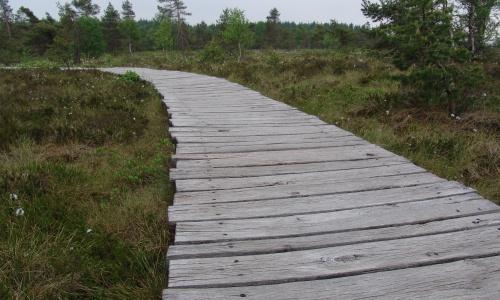 Holzbohlenweg durch das Schwarze Moor Geführte Wanderung durch das Schwarze Moor