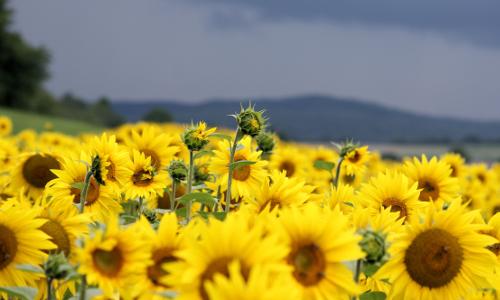 Sonnenblumenfeld beitrag1 Sommerferienprogramm 2016