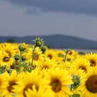 Sonnenblumenfeld - Copyright: VDN/Leyla99