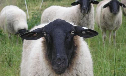 rhoenschafportraitfrontal Rhöner Lammfleischtiegel   süß sauer