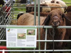 Der Schäfertag lockte mit einer großen Tierschau (Bild: Naturpark Bergisches Land)
