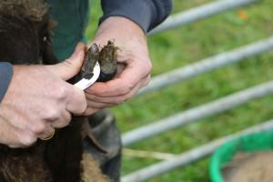 Das Schneiden der Klauen ist auch ein Thema des Schafworkshops (Foto: Naturpark Bergisches Land)