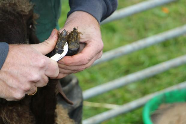 klauenschneiden naturpark IMG 0255 620x413 Gemeinsamer Workshop: Einstieg in die ökologische Schafhaltung