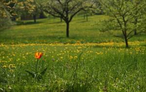 Klicken Sie auf das Bild des Tages im Fotoportal: Allein zwischen Löwenzähnen – © VDNLuxfox - Schönbuch