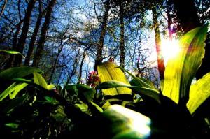 Klicken Sie auf das Bild des Tages im Fotoportal: Bärlauch-Gegenlicht – © VDNSchönmüller - Bergstraße-Odenwald