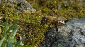 Klicken Sie auf das Bild des Tages im Fotoportal: Bienen-Weide – ©VDNdietmar tunk - Spessart