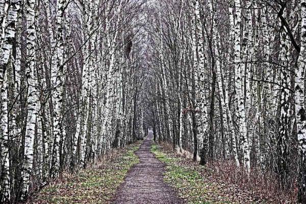 Klicken Sie auf das Bild des Tages im Fotoportal: Birkenallee – © VDNNoko - Muldenland - in Gründung