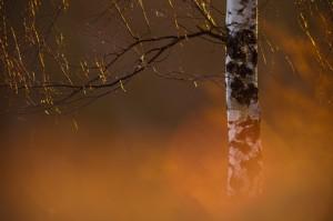 Birkenleuchten - ©VDN-Stephan Amm  - Nähe Weismain