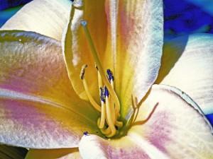 Klicken Sie auf das Bild des Tages im Fotoportal: Blaue Laus auf Lilie – © VDNDieter Matthe - Lüneburger Heide