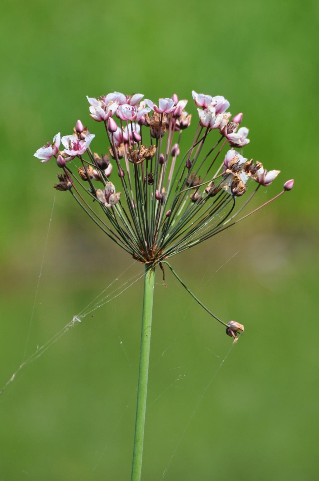 Blume des Jahres 2014 – © VDNSiegfried A. Walter - Unteres Saaletal