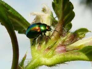 Buntmetallic Käfer -) – ©  VDNGrazyna Boehm - Homert