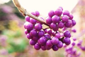 Klicken Sie auf das Bild des Tages im Fotoportal: Chinesische Schönfrucht –© VDNDieter Matthe - Lüneburger Heide