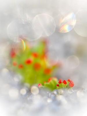 Klicken Sie auf das Bild des Tages im Fotoportal: Cladonien im letzten Schnee – © VDNI. Noack - Nuthe-Nieplitz