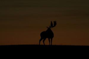 Klicken Sie auf das Bild des Tages im Fotoportal: Damschaufler am Ende des Tages – © VDN Luchse - Südschwarzwald