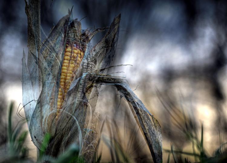 Der letzte Mais – © VDNJürgen Ober - Augsburg-Westliche Wälder