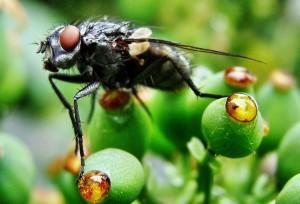 Die Fliege - © VDNThomas Becker - Rheinland