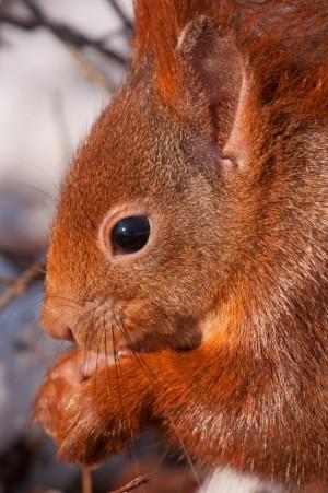 Eichhörnchen – © VDNMatze- Stromberg-Heuchelberg
