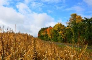 Klicken Sie auf das Bild des Tages im Fotoportal: Feldrain am Maisfeld – © VDNHans-Jürgen Schmidt - Steinwald