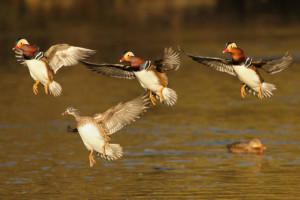 Klicken Sie auf das Bild des Tages im Fotoportal: Formationsflug – © VDNR. Armbruster - Schönbuch