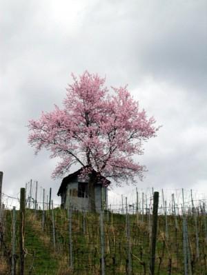 Frühling1 - © VDNReiner Arnold - Bergstraße-Odenwald