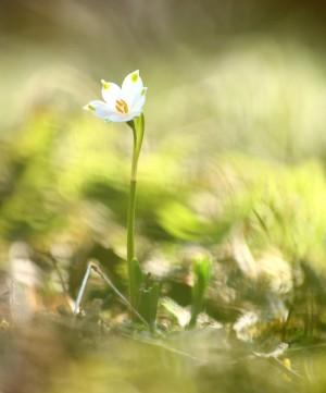 Klicken Sie auf das Bild des Tages im Fotoportal: Frühlingsboten – © VDNFritz Eichmann - Bayerischer Wald