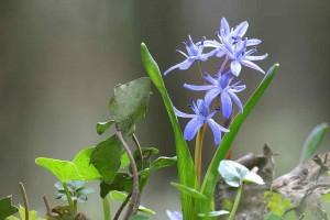 Frühlingskomposition nach Wildverbiss – (c)VDNJörg Willems - Siebengebirge