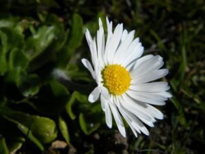 Klicken Sie auf das Bild des Tages im Fotoportal: Gänseblümchen – © VDNIlona Kompanik - Schlei