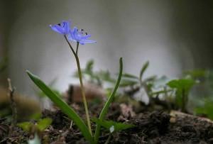 Geschützte Wildpflanze – (c)VDNJörg Willems - Siebengebirge