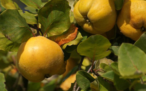 Klicken Sie auf das Bild des Tages im Fotoportal: Halb Apfel, halb Birne ... – © VDNLuxfox - Schönbuch