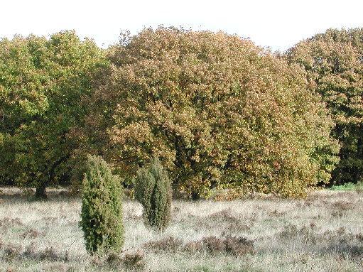 Herbsteichen – © VDNSteffen Albers – Lüneburger Heide