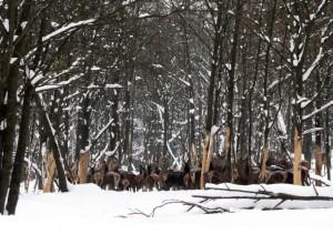 Hirsch Rudel im Winter – © VDNHelmut Schmidt – Erzgebirge  Vogtland
