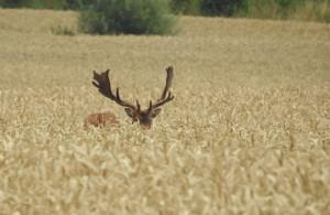 Klicken Sie auf das Bild des Tages im Fotoportal: Hirsche im Kornfeld 4 – © VDNIlona Kompanik - Schlei