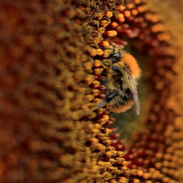 Klicken Sie auf das Bild des Tages im Fotoportal: Hummel im Paradies – © VDNJessica Johnen - Bergisches Land