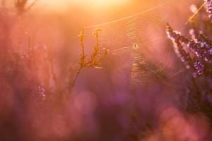 Klicken Sie auf das Bild des Tages im Fotoportal: Im letzten Sonnenlicht- © VDNRobert Sommer - Lüneburger Heide