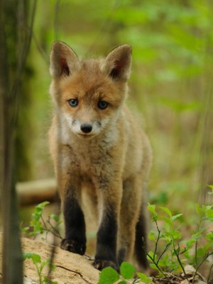 Klicken Sie auf das Bild des Tages im Fotoportal: Junger Fuchs – © VDNChristian Schmalhofer - Oberer Bayerischer Wald