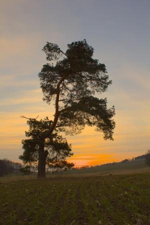 Kiefer im Abendlicht (HF)_ VDNbikender_ Zittauer Gebirge
