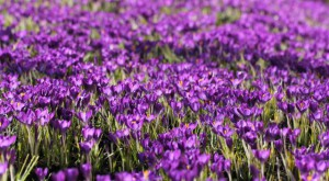 Klicken Sie auf das Bild des Tages im Fotoportal: Krokuswiese – © VDNBrezina Peter - Fichtelgebirge