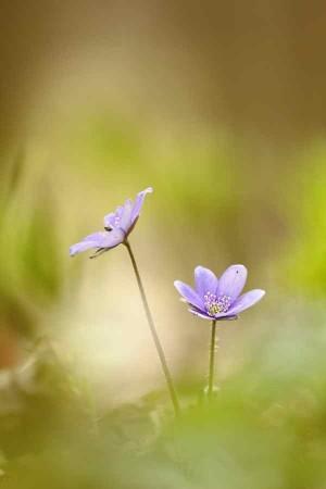 Klicken Sie auf das Bild des Tages im Fotoportal: Leberblümchen – (c)VDNbikender - Zittauer Gebirge