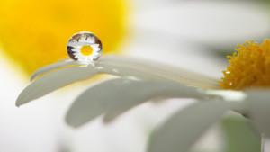 Klicken Sie auf das Bild des Tages im Fotoportal: Leucanthemum vulgare – © VDNRaimund Knauf - Deutsch-Belgischer Naturpark Hohes Venn - Eifel