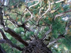 Mammutbaum in Freudenstadt – VDNClara Spielmann - Schwarzwald MitteNord